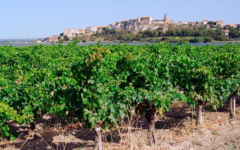 Vin IGP de Territoire : Coteaux de Narbonne